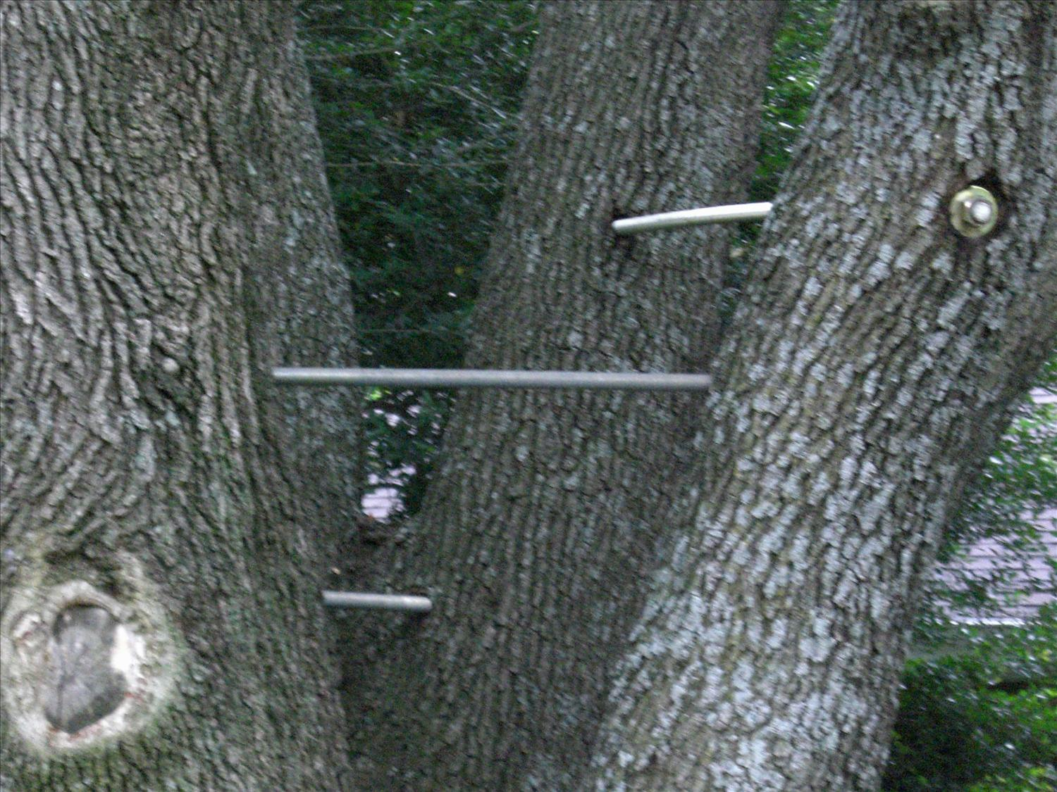 Cabling And Bolting To Save Trees By A Better Arborist